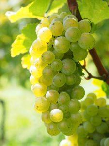 grappe raisin vignes
