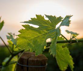 Pourquoi la France est considérée comme le pays du vin ?