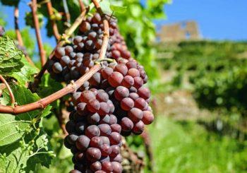 Paillage de la vigne bois ou BRF, lequel choisir?
